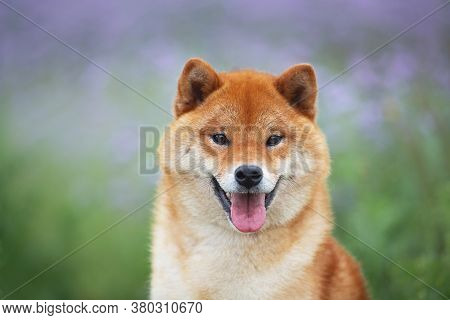 Gorgeous And Happy Red Shiba Inu Dog Posing In The Violet Flowers Field. Phacelia Blossoms. Beautifu