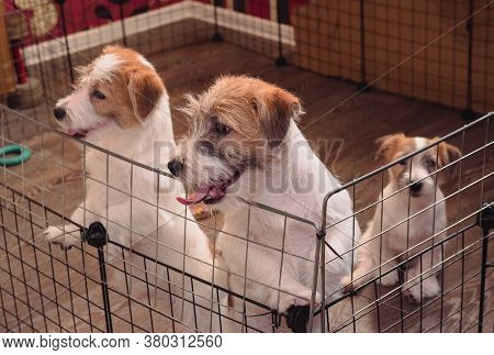 Three Small Adorable Puppies Of A Wirehaired Jack Russell Terrier. English Hunting Dog Breed. Kennel