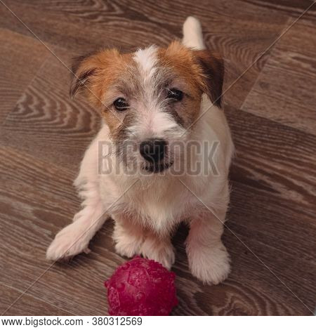 One small charming puppy of a rough-coated Jack Russell Terrier. English hunting dog breed. The Jack Russell puppy is sitting on the floor, with its toy next to it.