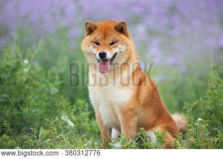 Gorgeous And Happy Red Shiba Inu Dog Sitting In The Violet Flowers Field. Phacelia Blossoms. Beautif