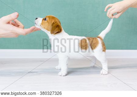 A White Jack Russell Terrier Puppy Stands Sideways In A Rack. Hands Hold A Puppy By A Tail And Chin.