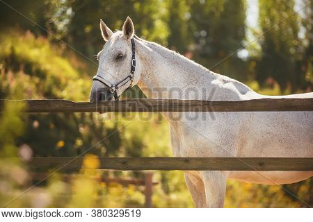 In A Paddock With A Wooden Fence Against A Background Of Green Leaves Stands A Beautiful White Speck