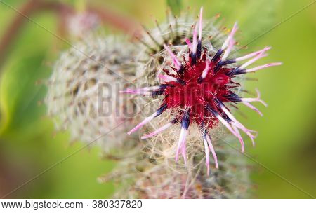 Macro Shot Of Greater Burdock. Arctium Lappa.