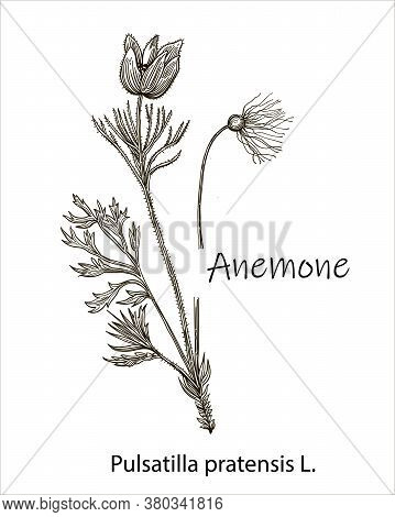 Hand Drawn Vector Illustration. Collection Of Buttercup Anemone. Set Of Wild Flowers. Botanical Real