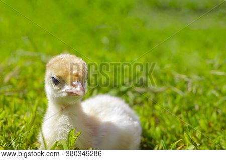 Little Turkey On Green Grass. Turkey-poult Close Up. Turkey Chick Walking In The Air. Eco Farm. Angr