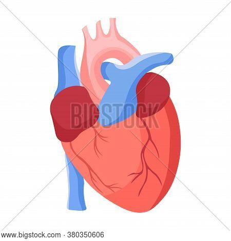 Human Heart In Flat Style Illustration, Isolated On White. Anatomical Heart For Medical Or Scientifi