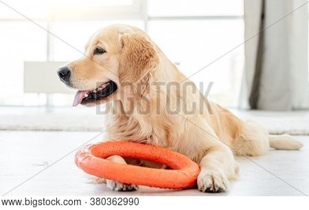 Golden retriever playing with ring toy