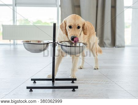 Golden retriever drinking from bowl indoors