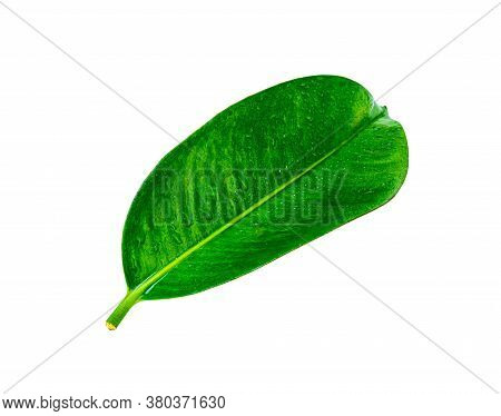 Tropical Green Leaf Isolated On White Background, Clipping Path, Leaf From Natural Tropical Forest
