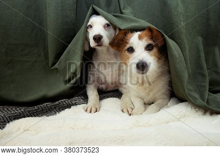 Two Scared Or Afraid Puppies Dogs Hide Behind A Green Curtain Because Of Fireworks, Thunderstorm Or