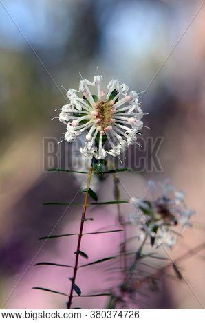 White Australian Native Slender Rice Flower, Pimelea Linifolia, Family Thymelaeaceae, Royal National