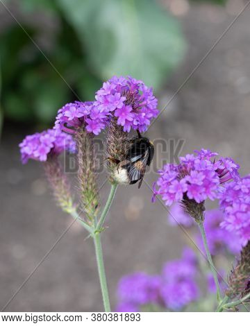 A Bumble Bee Climbing A Pink Flower In Summer Time
