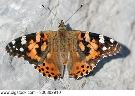 Painted Lady (vanessa Cardui) Butterfly Basking. Rouge National Urban Park, Ontario, Canada.