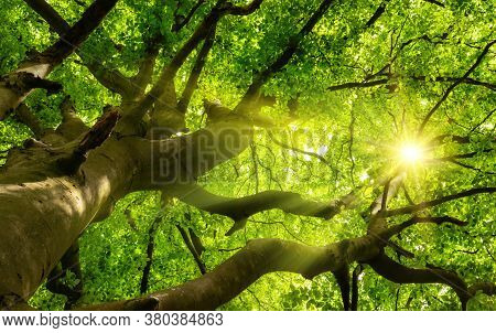 Green Beautiful Canopy Of A Big Beech Tree With The Sun Shining Through The Branches And Lush Foliag