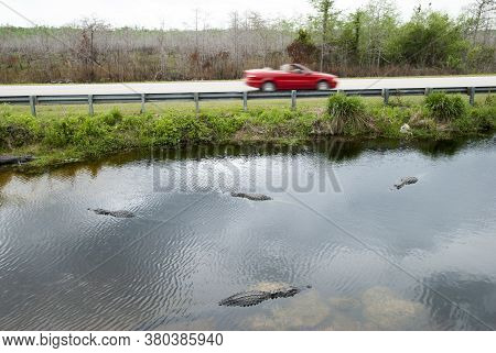 The Car Passing By The Pond Full Of Alligators In Everglades National Park (florida).