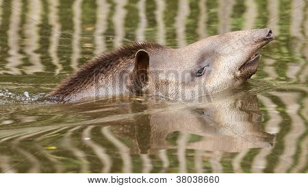 Profile Portrait Of South American Tapir In The Water