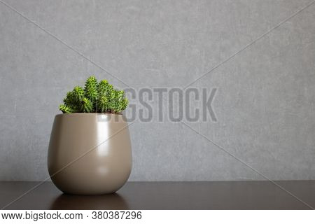 Green euphorbia susannae succulent plant growing in ceramic vase isolated on clean background and placed off-center a shelf. Minimalist setting in sober earth tones with empty space for text on the right