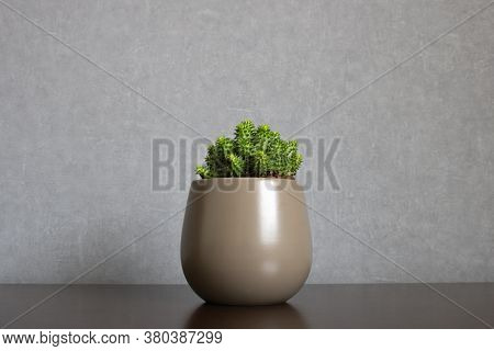 Green euphorbia susannae succulent plant growing in ceramic vase isolated on clean gray background and centered on a shelf. Minimalist setting in sober earth tones with empty space for text