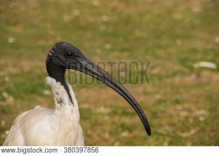 Australian White Ibis Ave Photography And Green Background