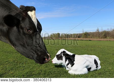 Close-up Of Holstein Cow Face Caring For Her Newborn Baby Calf Laying In The Pasture Field On A Sunn