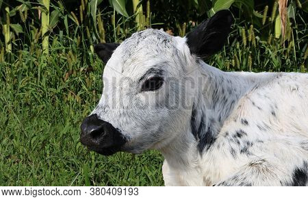 Close-up Of Head And Shoulders Of Mottled Black And White Cross Breed Young Calf Laying In The Pastu