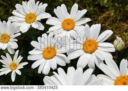 Chamomile Flowers Daisies, Wildflowers, Chamomile Flowers. Close Up