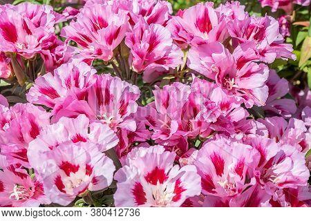 Many Colors Godetia Grandiflora Azaleaflora, Clarkia, Grade Maiden Blush On The Flowerbed