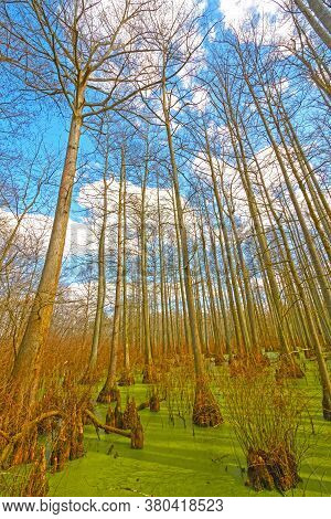 Cypress Trees Stretching Out Of The Swamp In Heron Pond In The Cache River Natural Area In Illinois