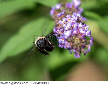 Bumblebee With It's Wings Buzzing Flying Away From A Purple Butterfly Bush Flower Bloom.  Insects In