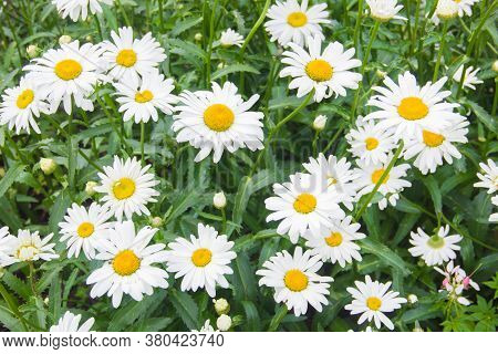 Lots Of Daisies. Daisies, Daisies, Wildflowers. Many Daisies In The Meadow.