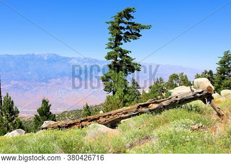 Lush Alpine Meadow Surrounded By Pine Trees Overlooking The The Arid Desert And Mt San Gorgonio Beyo