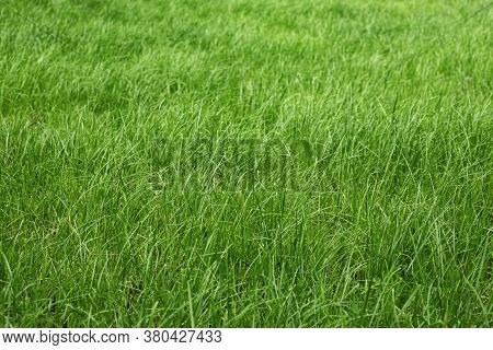 Tall Green Grass In A Meadow, Pasture, Unmown Green Lawn Or Lawn