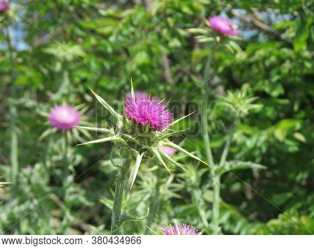 Scotch Thistle Also Mary Or Milk Thistle - Silybum Marianum - Pink Flower With Sharp Leaves On Blurr