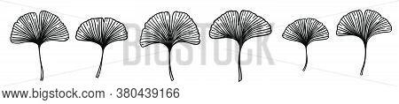 Ginkgo Or Gingko Biloba Leaves Set. Nature Botanical Vector Engraving Illustration, Herbal Medicine