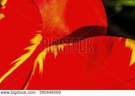 Red Yellow Petals Banja Luka Darwin Hybrid Tulip Blooming Macro.  Named After City In Bosnia, Tulips