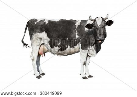 Cow Isolated On White. Talking Black And White Cow. Funny Curious Cow. Farm Animals. Cow, Standing F