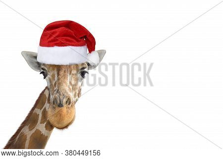 Cute And Funny Giraffe Head In Christmas Or Santa Hat Isolated On White Background. Funny Giraffe Po