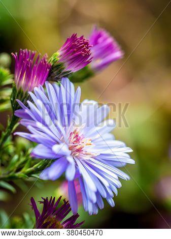 New England Aster (symphyotrichum Novae-angliae / Aster Novae-angliae) Flower.