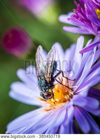 A Blue Blowfly (calliphora Vicina) Sucking A New England Aster (symphyotrichum Novae-angliae / Aster