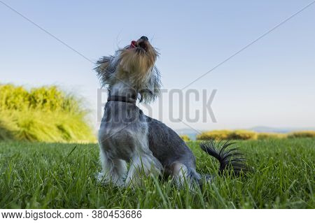 Little Beautiful Dog On The Green Grass Against The Backdrop Of The Sea. Yorkie, Hairstyle Beautiful