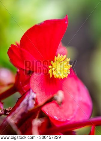 Closeup Of A Red Begonia With Yellow Stigma.