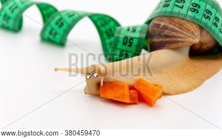 Funny Achatina Snail Close Up, Eats A Carrot, Next To The Measuring Tape, On White Background. The C