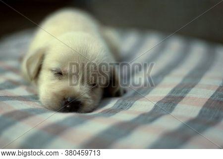 One Month Old Golden Labrador Puppy Sleeping