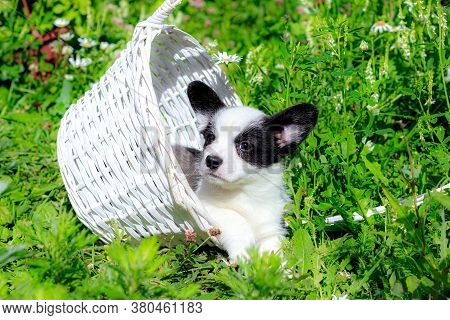 A Corgi Puppy Is Sitting In A Wicker Basket On The Grass . Puppy In The Basket. The Concept Of A Cut