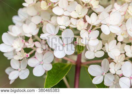 Hydrangea Paniculata Vanille Fraise, Paniculate Hydrangea Rehny Close Up