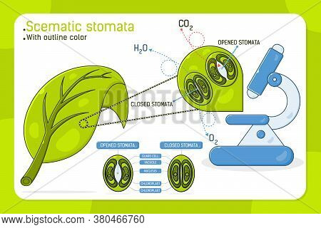 Magnified Leaf Stomata With Schematic Stomata Open And Closed, Vector Ilustration For Web Design, Ui