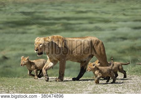 Cute Lion Cubs And Their Mother Walking Across The Green Plains Of Ndutu Tanzania