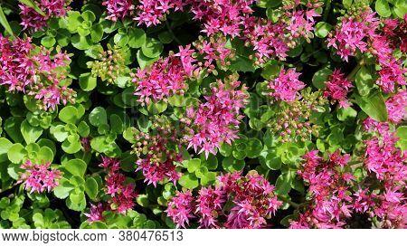 Hylotelephium Telephium Or Sedum Telephium Known As Orpine, Livelong, Frog\'s-stomach, Harping Johnn