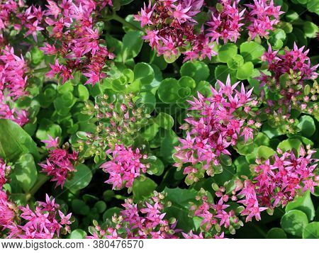 Hylotelephium Telephium Or Sedum Telephium Known As Orpine, Livelong, Frog\'s-stomach, Harping Johnn