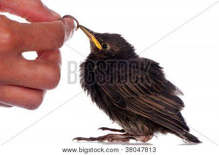 Feeding A Starling